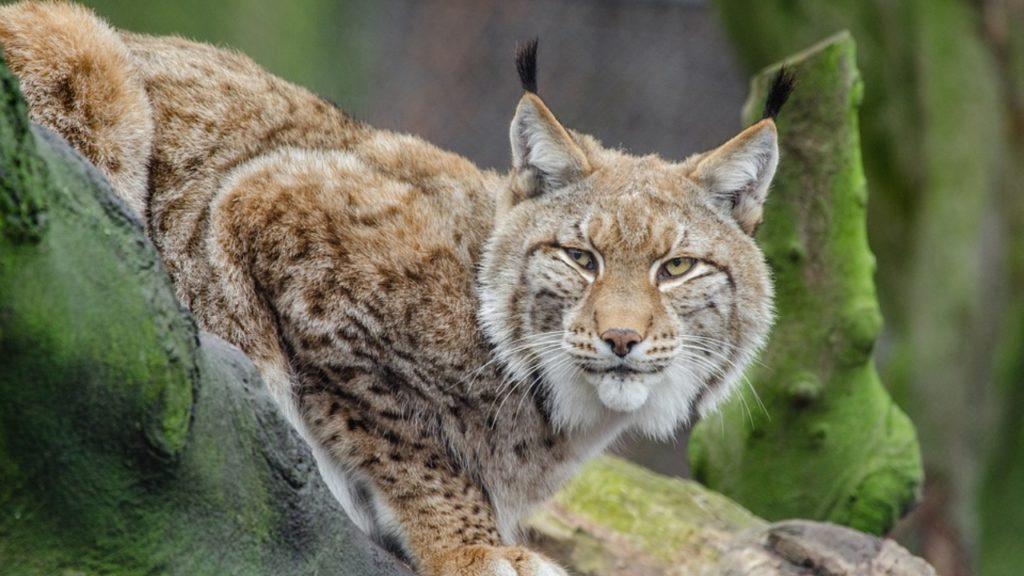 Lynx België gespot