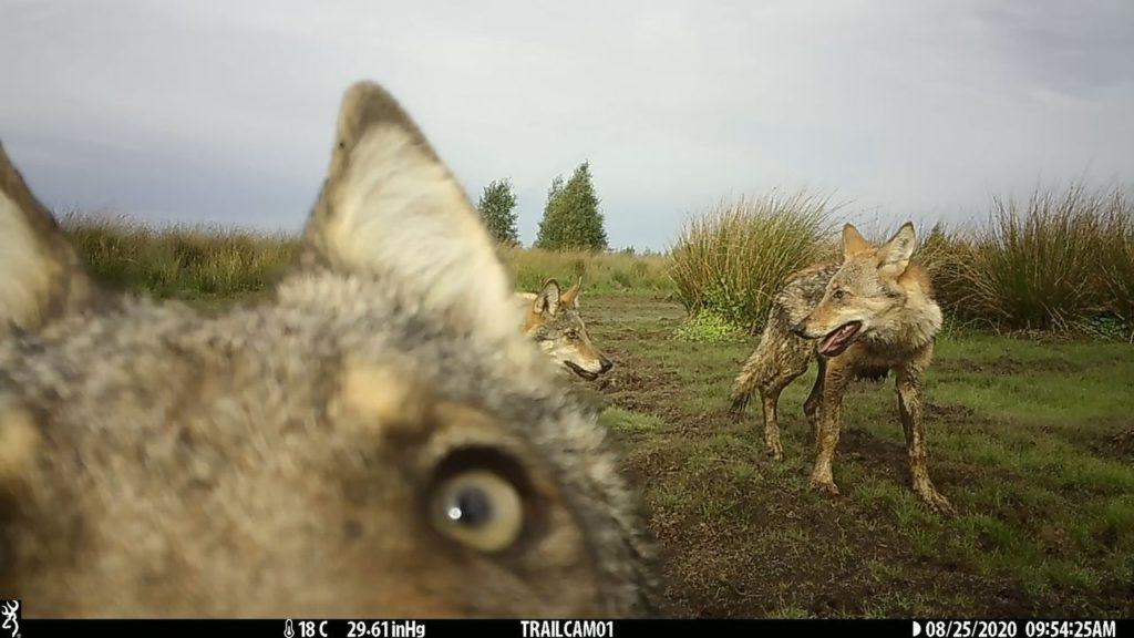 Nieuwe beelden wolvenwelpjes