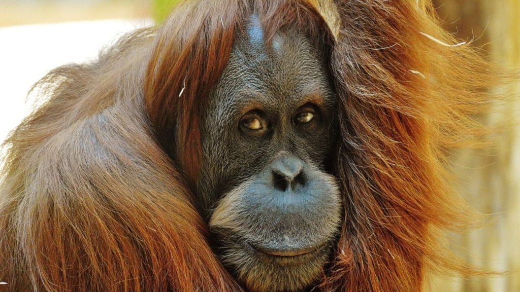 Geldproblemen Planckendael orang-oetans