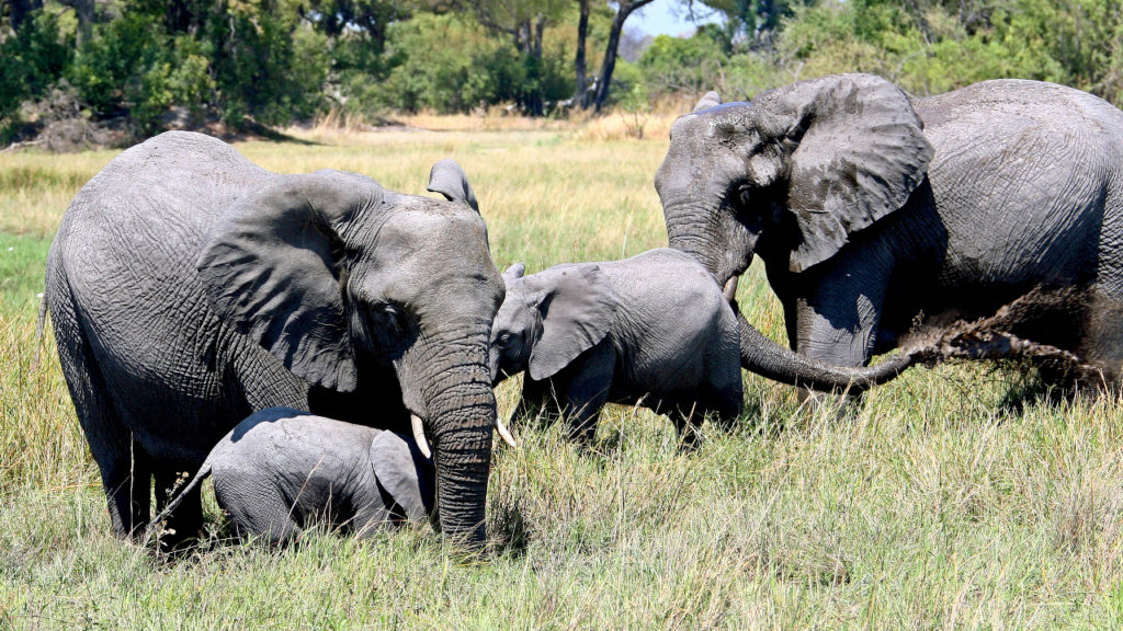 Olifanten Okavangodelta Botswana